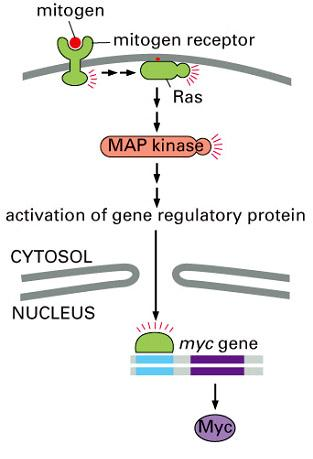 MAP kinase pathway.jpg