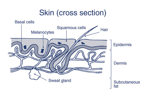 1 skin cross section.png
